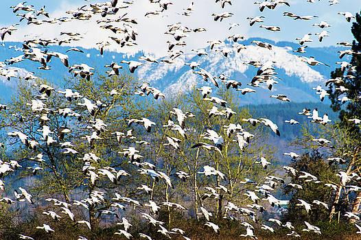 Snow Geese  by Hisao Mogi