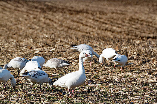 Snow Geese in a corn field. by Allan Levin