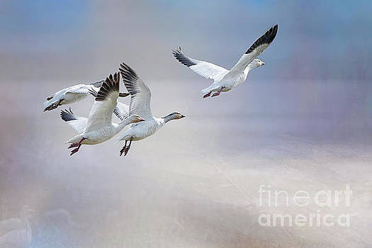 Snow Geese in Flight by Bonnie Barry