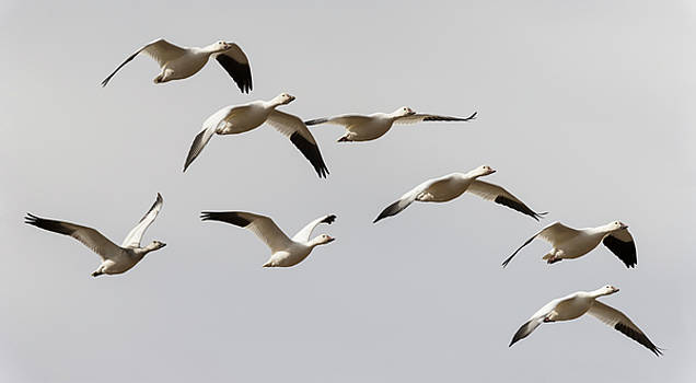 Loree Johnson - Snow Geese in Flight