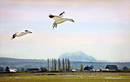 Snow Geese Landing by Edward Coumou