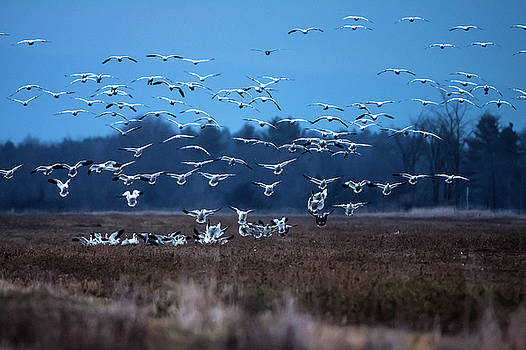 Snow geese return to  dead creek VT by Jeff Folger