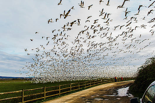 Snow Geese - Skagit by Hisao Mogi