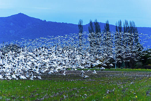 Snow Geese - Skagit Valley by Hisao Mogi