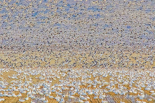 Snow Geese Take Off 2 by Marc Crumpler
