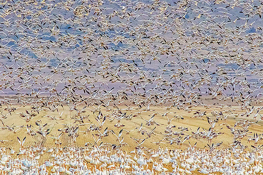 Snow Geese Take Off 3 by Marc Crumpler