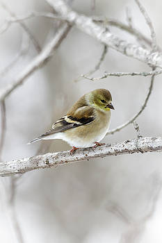 Snow Gold Finch by Jim Johnson