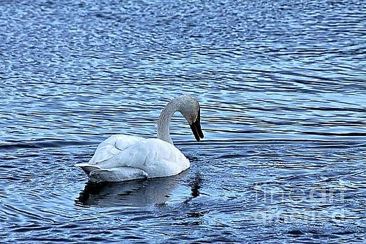 Snow goose by Carole Martinez