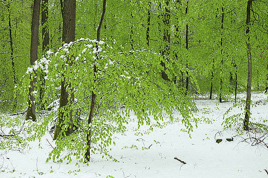 Martin Stankewitz - snow in spring, fresh foliage in beech forest