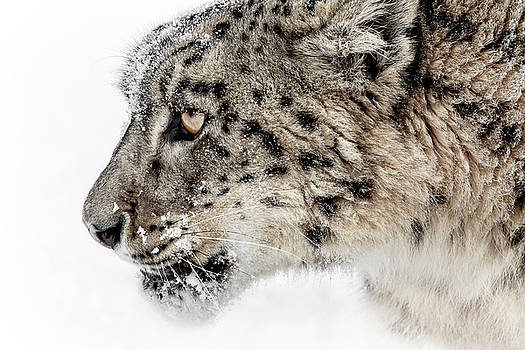 Snow Leopard Attitude by Wes and Dotty Weber