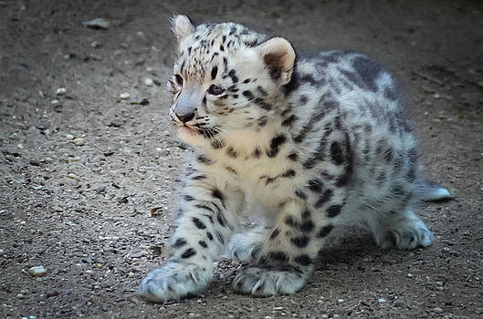 Snow Leopard Cub by Terry DeLuco