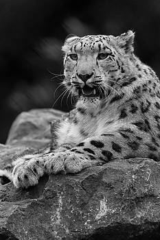 Snow Leopard by David Stanley