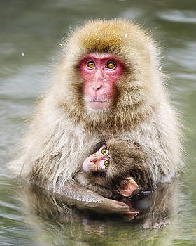 Snow Monkey Mother and Baby by Rich Legg