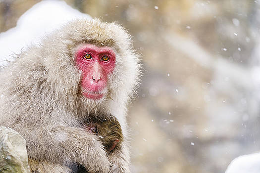 Snow Monkey Mother by Rich Legg
