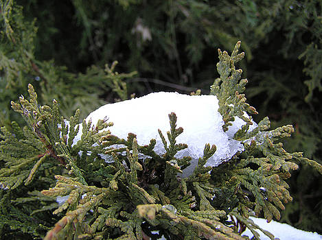 Snow on Cedar Tree by Richard Mitchell