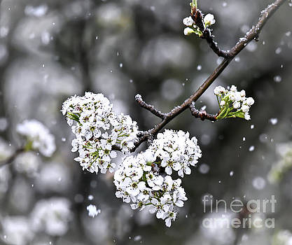 Snow on the Pear Blossoms by Kerri Farley