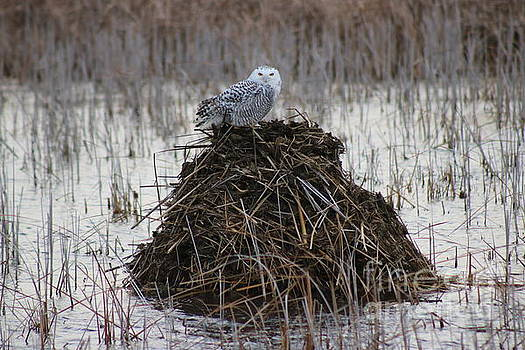 Snow Owl on the Beaver Den by Erick Schmidt