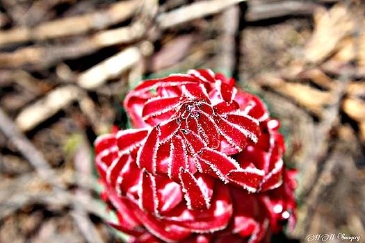Snow Plant by Heather Huffman