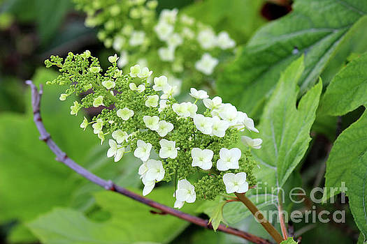 Snow Queen Hydrangea by Karen Adams