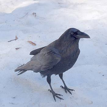 Snow Raven by Eric Tressler
