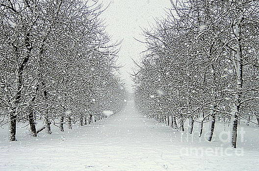 Snow Trees by Andy Thompson