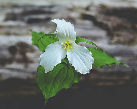 Snow Trillium by Betsy Armour