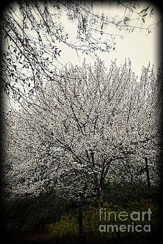Snow White Flowering Tree by Eva Thomas