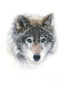 Snow Wolf by Robert Foster