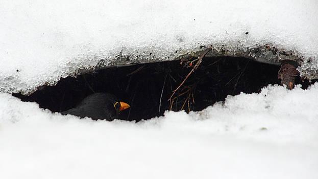 Snowcavebird. Eurasian blackbird by Jouko Lehto