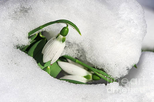 Snowdrop flower in a snow by Deyan Georgiev