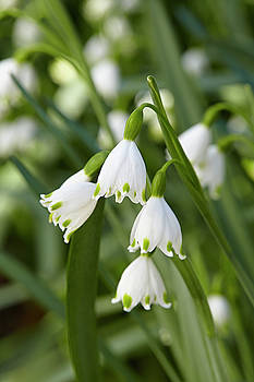 Snowdrop by Garden Gate