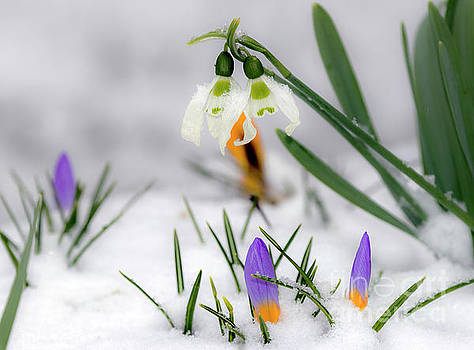 Snowdrops and crocus by Odon Czintos
