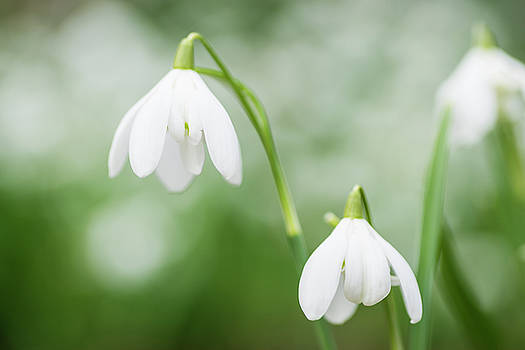 Snowdrops by David Taylor
