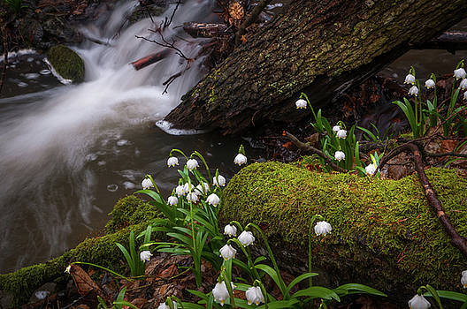 Jenny Rainbow - Snowdrops Flowers in Spring Forest