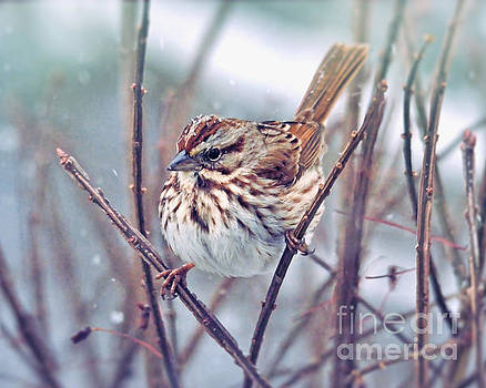 Snowflakes on a Song Sparrow by Kerri Farley