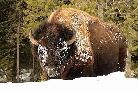 Snowy Bull by Ann Sullivan