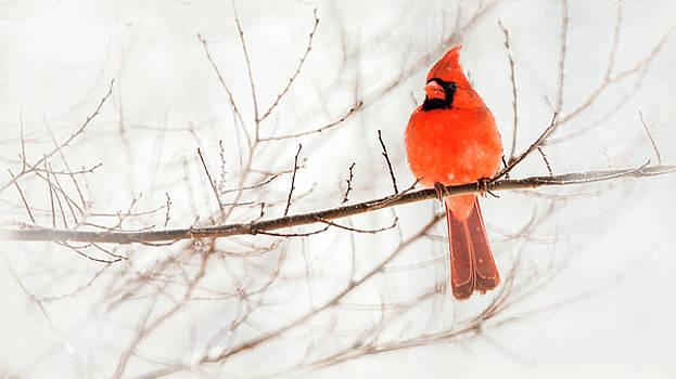 Snowy Cardinal by Jack Nevitt