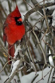 Snowy Cardinal by Maria Suhr