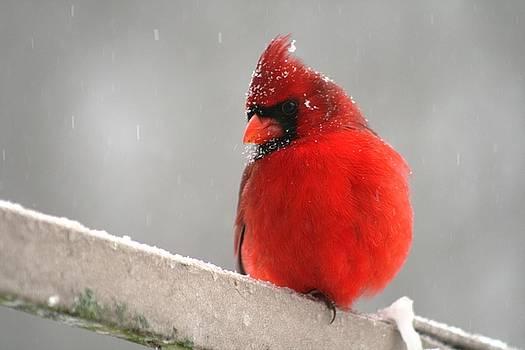 Snowy-Crowned Cardinal by Beth Andersen