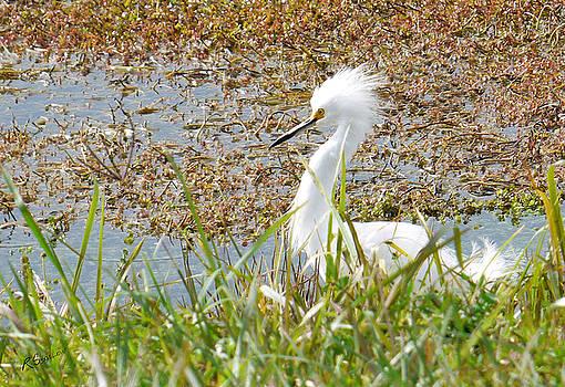 Snowy Egret at Harnes Marsh by Rosalie Scanlon