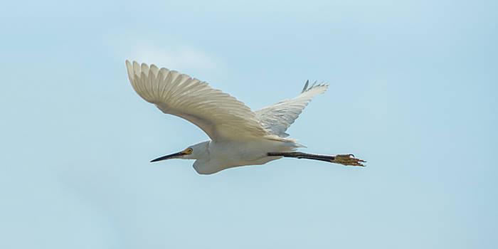 Chris Bordeleau - Snowy Egret