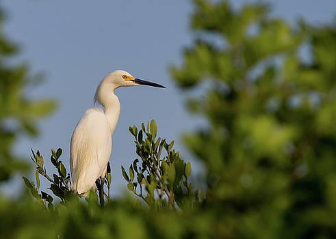 Snowy Egret by Dillon Kalkhurst