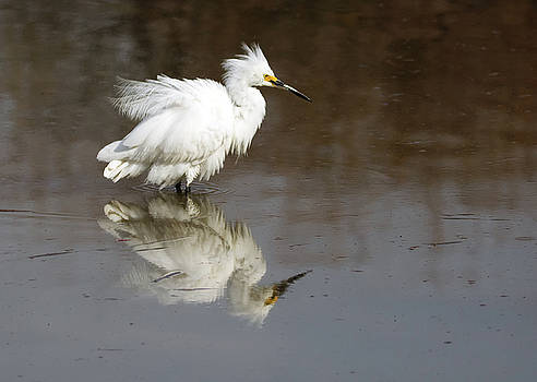 Snowy Egret Feather Fluff 7940-021818-1cr by Tam Ryan