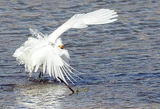 Snowy Egret Fight 8132-021918-2cr by Tam Ryan