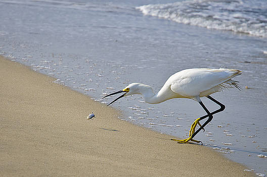 Christine Kapler - Snowy Egret fishing on Puerto Vallarta beach