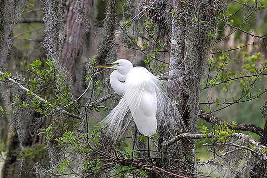 Snowy Egret in Plumage by BG Flanders