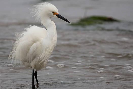 John Daly - Snowy Egret in the Wind