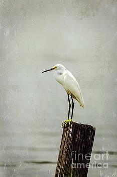 Snowy Egret by Joan McCool