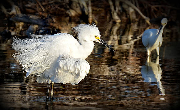 Snowy Egret by Kerry Hauser