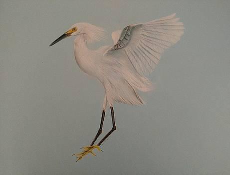 Snowy Egret landing by Joan Mansson